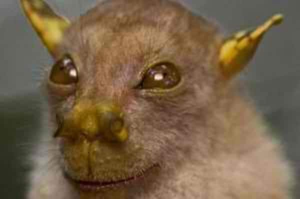 Philippine-tube-nosed-bat-300x199