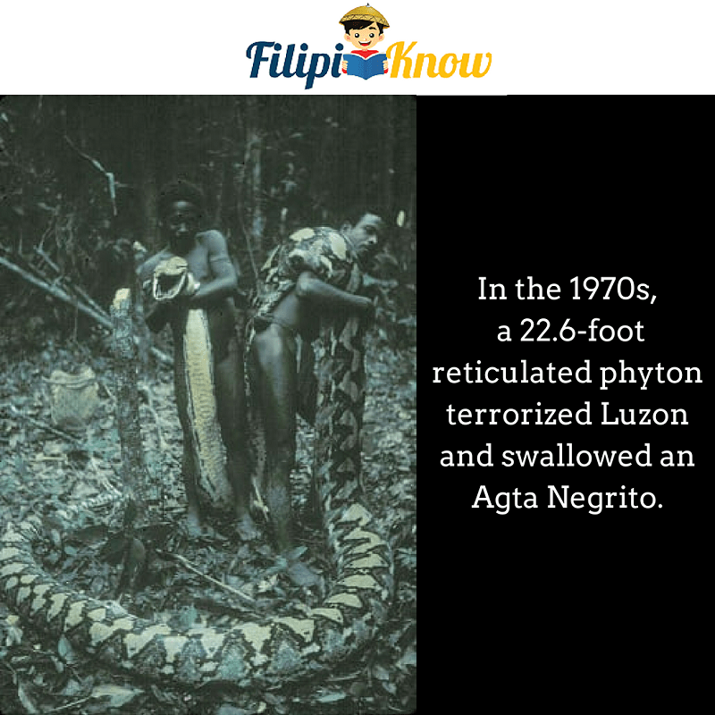 giant reticulated phyton in Luzon