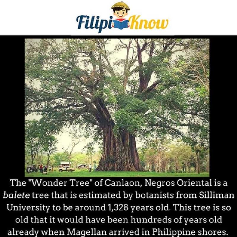 oldest tree in the philippines