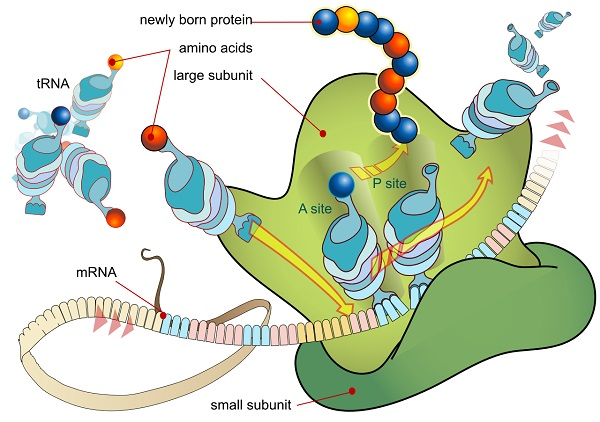 central dogma of biology 9